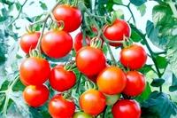 美味しいトマトの選び方